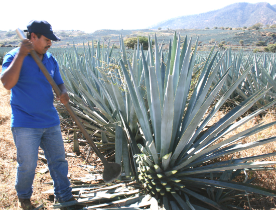 An agave jimador in action