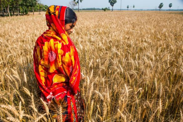 Barley in India is grown in the north of the country